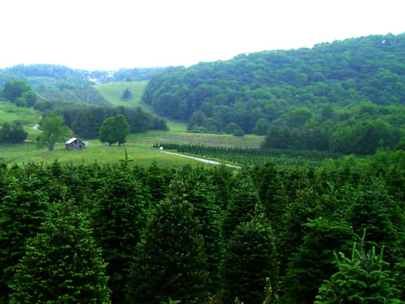 Boone NC Choose And Cut Christmas Trees
