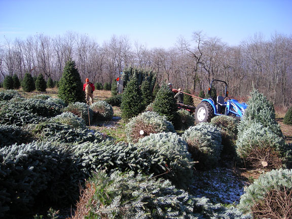 Greene Tree Farm Choose And Cut Fraser Fir Christmas Trees And Wreaths  Boone NC Christmas Tree ...